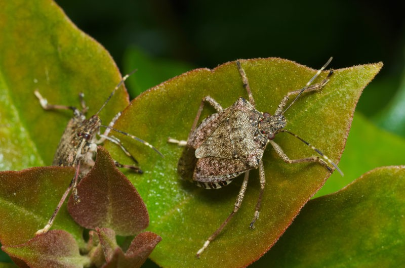 Stink Bugs in Omaha, NE