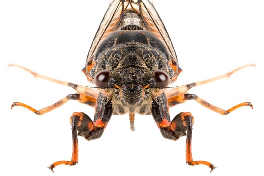 Cicada Killer Wasps