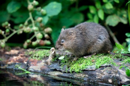 Vole Control in Omaha