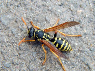 Yellow Jackets & Wasps