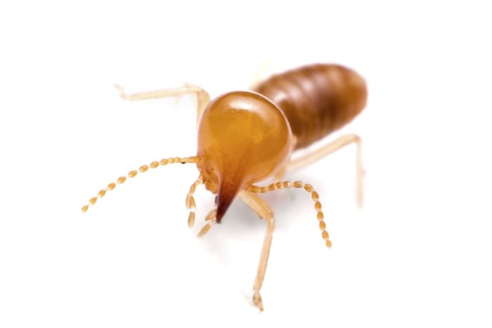 Home Termite Inspections