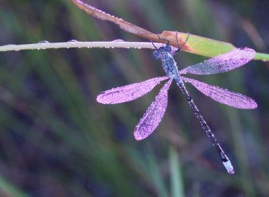 Dragonflies In Nebraska