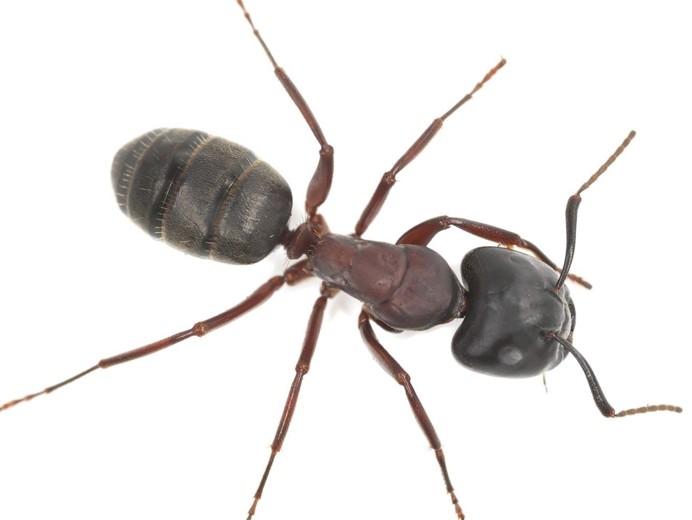 Carpenter Ants In Omaha !!!