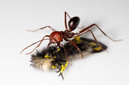 Carpenter Ants Attack