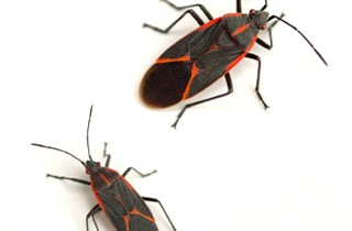Boxelder Bugs Beware