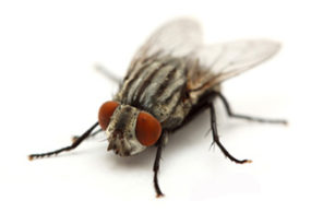 filth-flies