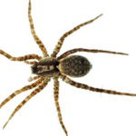 brown recluse spider control omaha