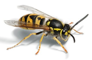 Wasps Cause a Sting