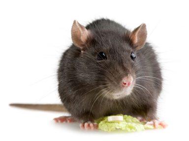 Mice Extermination Omaha