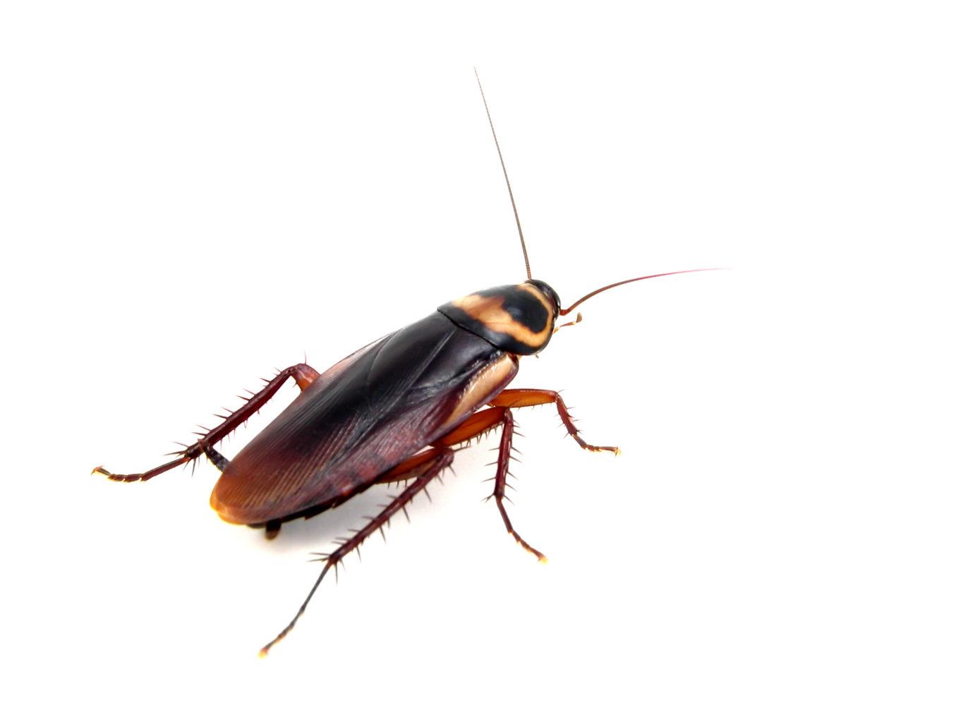Cockroach Extermination